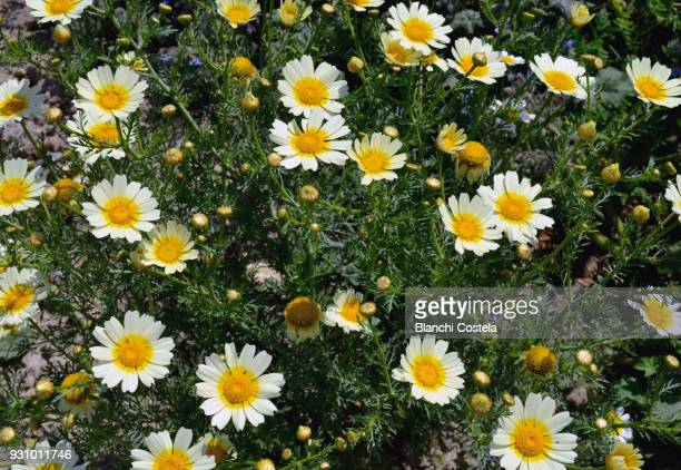 Wild daisies in bloom in nature