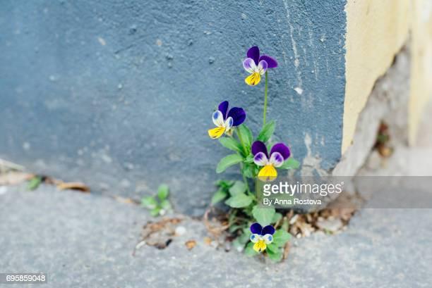 wild daisy growing on the street near building wall - niet gecultiveerd stockfoto's en -beelden