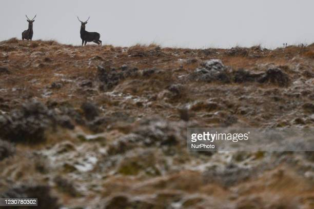 Wild deer at Wicklow Gap, Co. Wicklow, seen in winter weather after much of the country was covered with snow. On Sunday, 24 January in Dublin,...