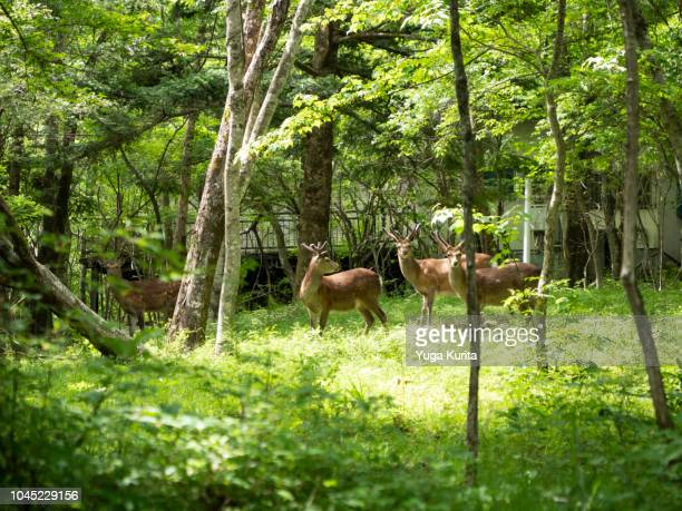 wild deer entering in a villa area in the slope of mt. fuji - biche photos et images de collection
