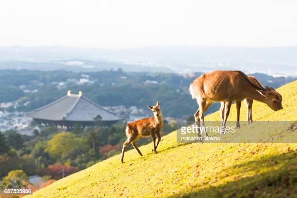 Wild Deer Grazing on Green Grass