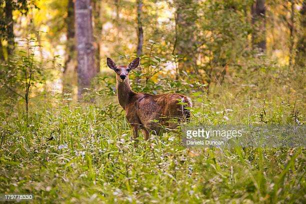 wild deer in the woods - biche photos et images de collection