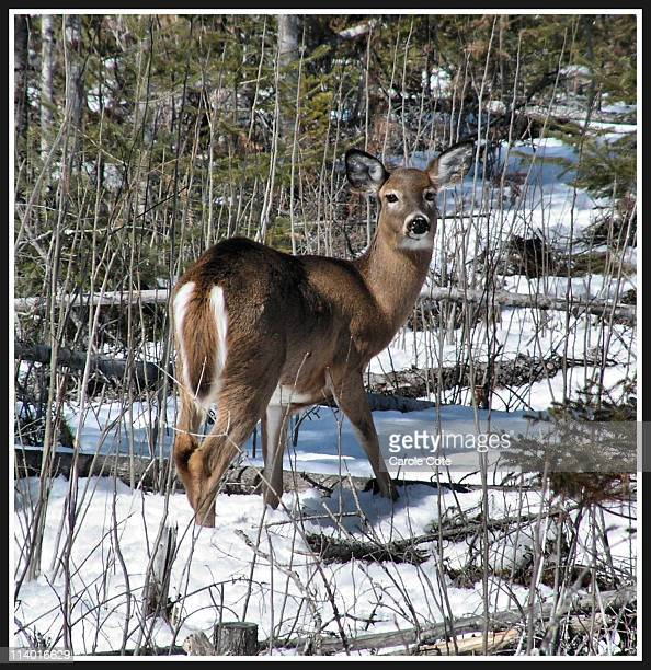 Wild deer in trail