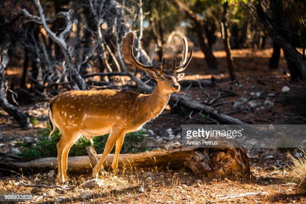 Wild deer male in the forest on the Moni island, Greece