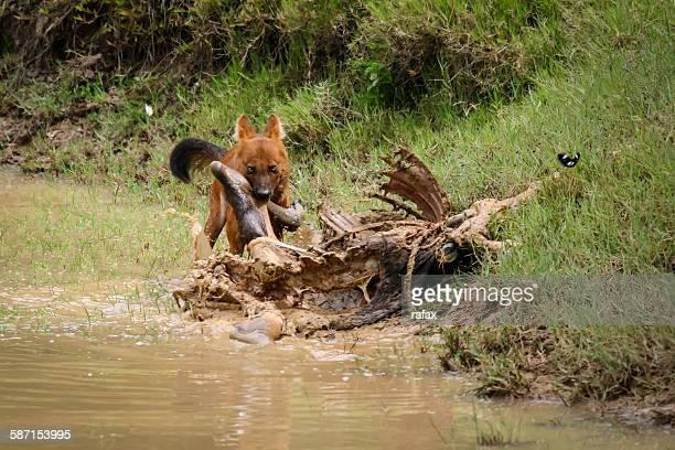 Wild dhole (Cuon alpinus) feed on hunted prey