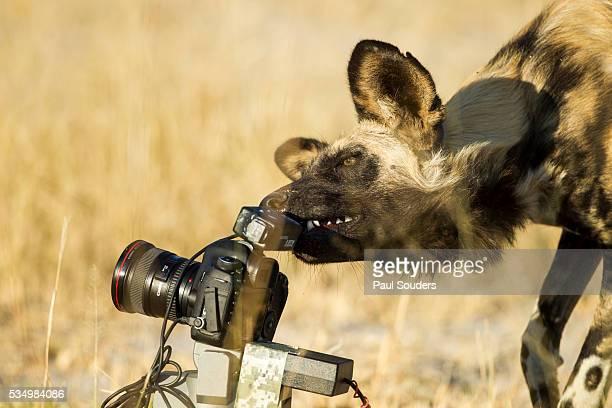Wild Dog and Remote Camera, Moremi Game Reserve, Botswana