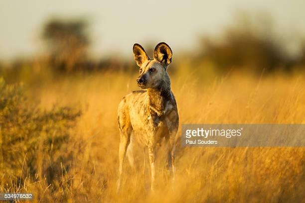 Wild Dog at Dawn, Moremi Game Reserve, Botswana