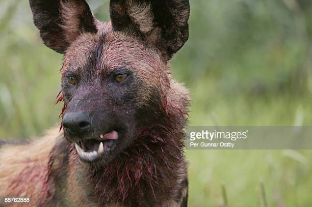 wild dog (lycaon pictus) covered in blood, madikwe game reserve, south africa - savage dog stock pictures, royalty-free photos & images