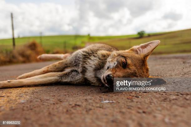 wild dog killed by highway run-off in the rural area of londrina in brazil - dead dog stock pictures, royalty-free photos & images