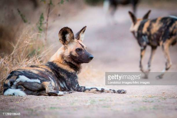 a wild dog, lycaon pictus, lies on the ground, looking away, bloody face, ears perked - wild dog stock pictures, royalty-free photos & images