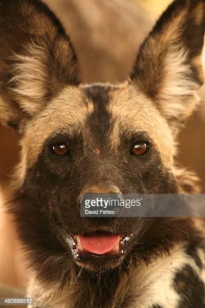 Wild dog - Lycaon pictus, Mana Pools National Park, Zimbabwe