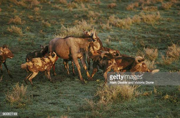 wild dog lycaon pictus pack killing wildebeest serengeti, tanzania - wild dog stock pictures, royalty-free photos & images