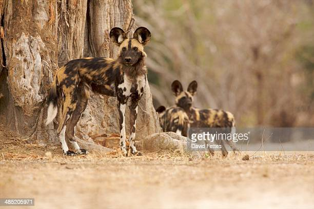 Wild Dog - Lycaon pictus