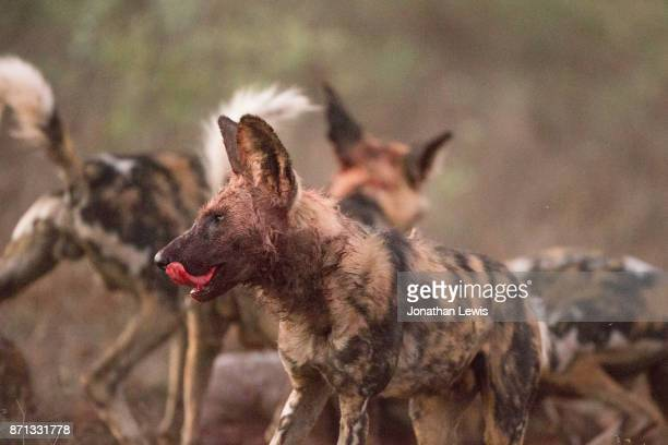 Wild dogs, Lycaon pictus, licking lips after kill
