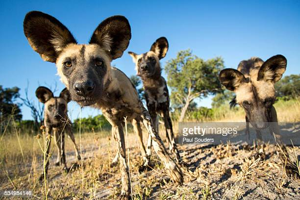 Wild Dogs, Moremi Game Reserve, Botswana