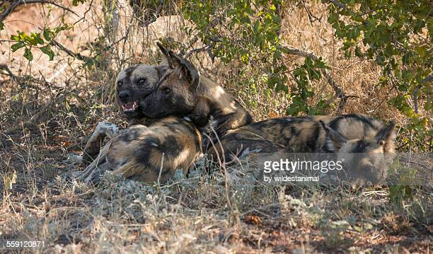 wild dogs resting - pack of dogs stock pictures, royalty-free photos & images