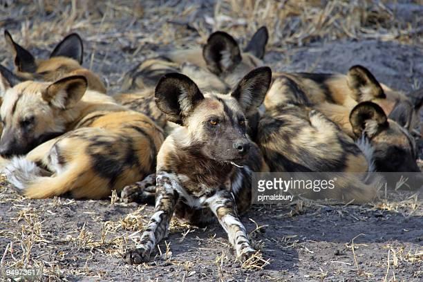 Wild Dogs sleeping