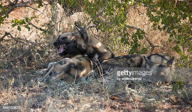 wild dogs socializing - pack of dogs stock pictures, royalty-free photos & images