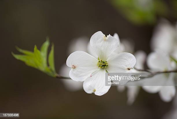 wild dogwood blossom in the smoky mountains - dogwood blossom stock pictures, royalty-free photos & images