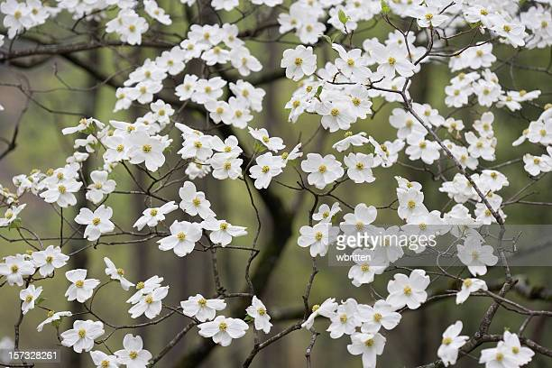 wild dogwoods in the smokies - dogwood blossom stock pictures, royalty-free photos & images