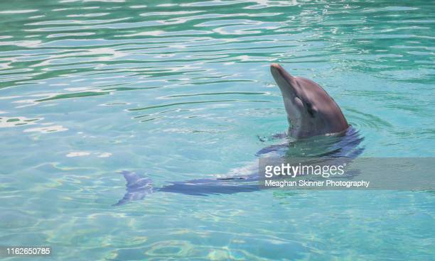 wild dolphins - new south wales stock pictures, royalty-free photos & images