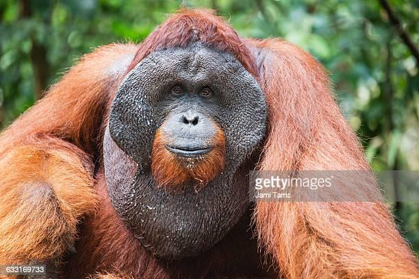 a wild dominant male orangutan portrait - orangutan stock pictures, royalty-free photos & images