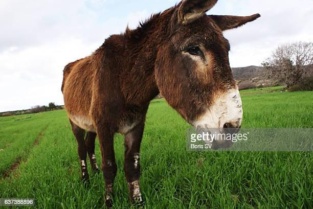 wild donkey in akamas area of cyprus - アカマス半島 ストックフォトと画像