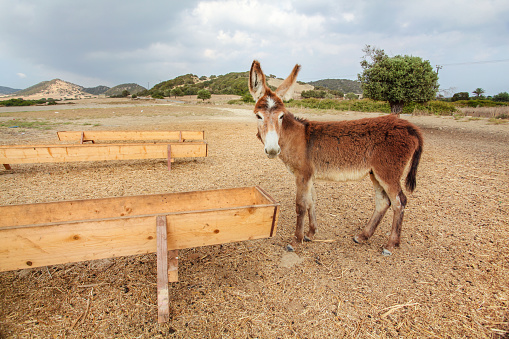 Wild donkey near food / water channel flume. These animals roam freely in Karpass region of Northern Cyprus 1151470665