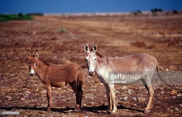 Wild donkeys Netherlands Antilles Bonaire Bonaire