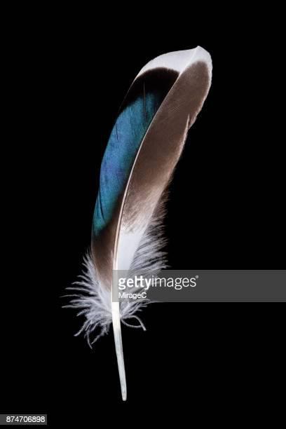 Wild Duck Feather on Black Background