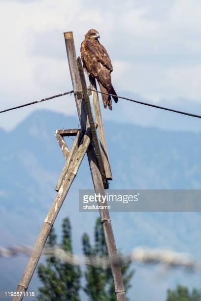 wild eagle resting on electrical wire waiting for prey. - shaifulzamri imagens e fotografias de stock