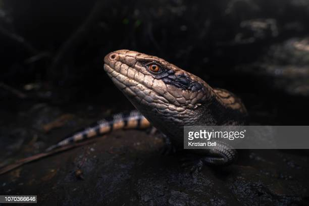 wild eastern blue-tongued lizard (tiliqua scincoides scincoides) in dense, muddy habitat - lizard stock pictures, royalty-free photos & images
