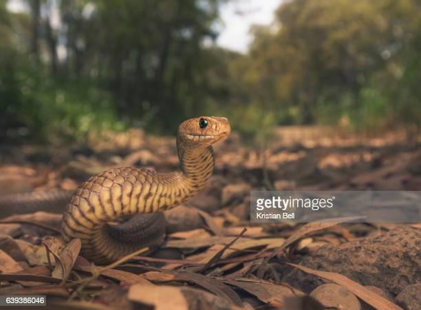 wild eastern brown snake (pseudonaja textilis) in melbourne, australia - browns stock photos and pictures