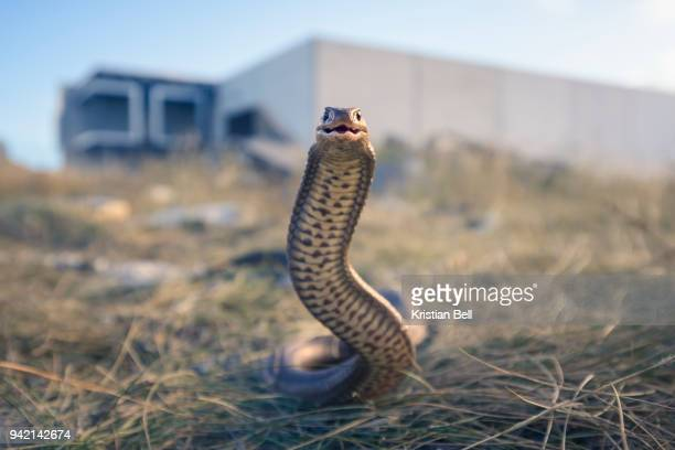 Wild eastern brown snake in urban wasteland