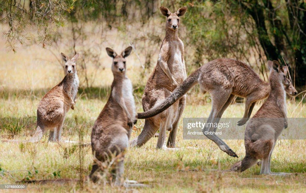 Wild Eastern Grey Kangaroos : Stock Photo