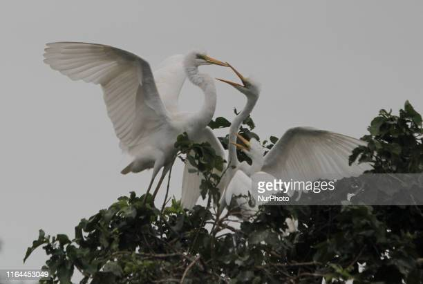 Wild Egret birds are seen on the way side tree branches as they hatched their chicks and feed them in the monsoon season outskirts of the eastern...