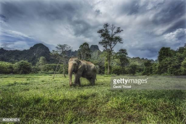 wild elephant at khao sok national park - asian elephant stock pictures, royalty-free photos & images