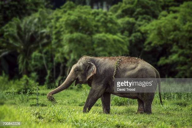 a wild elephant in thailand - kao sok national park stock pictures, royalty-free photos & images