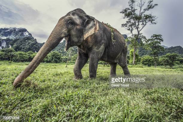 wild elephant in thailand - kao sok national park stock pictures, royalty-free photos & images