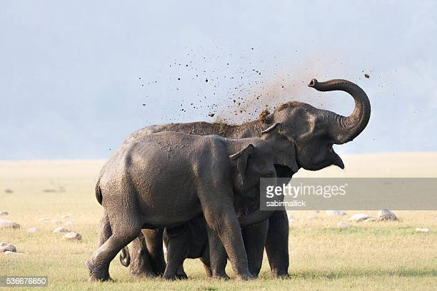 wild elephant, india. - indian elephant stock pictures, royalty-free photos & images
