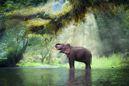 Wild elephant 520839324