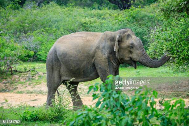wild-Elefanten
