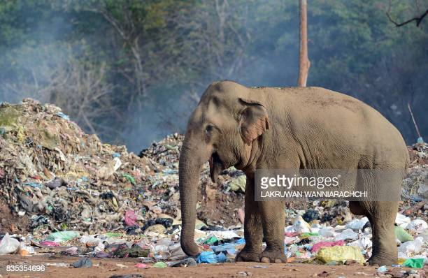 A wild elephant rummages through garbage dumped at an open ground in the village of Digampathana in northcentral Sri Lanka on August 19 2017 Sri...