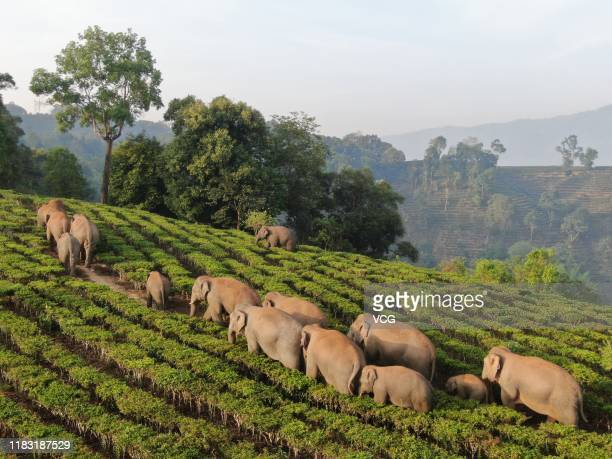 Wild elephants go through a crop filed on May 6, 2019 in Xishuangbanna Dai Autonomous Prefecture, Yunnan Province of China. These wild elephants are...
