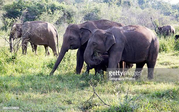Wild elephants in Hurulu Eco Park biosphere reserve Habarana Anuradhapura District Sri Lanka Asia