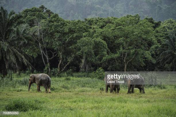 wild elephants in thailand - kao sok national park stock pictures, royalty-free photos & images