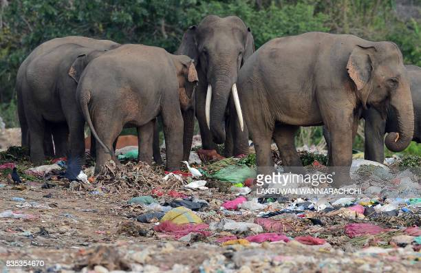 Wild elephants including a tusker rummage through garbage dumped at an open ground in the village of Digampathana in northcentral Sri Lanka on August...