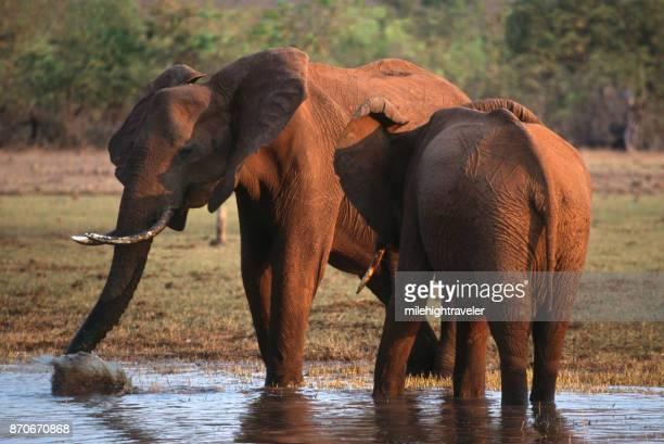 Wild elephants sunset pair play drink water Lake Kariba Matusadona National ParkZimbabwe
