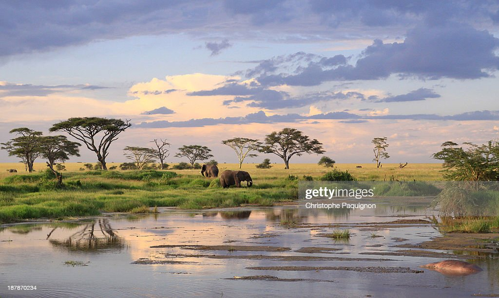 Wild elephants - Tanzania : Stock Photo