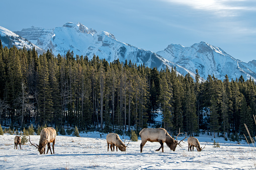 Wild Elk or also known as Wapiti (Cervus canadensis) in the winter snowfall in Banff National Park, Alberta, Canada 976957634